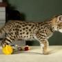 Savannah y  Serval gatitos, cachorros de guepardo, Chaussie  disponibles para la venta.