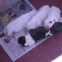 vendo cachorro BULL TERRIER