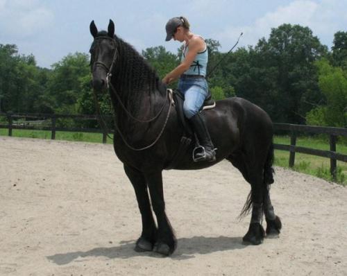 Fotos de (montana)hermos caballo frison gratis 1