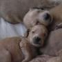 AFGANO excelentes cachorros con pedigree