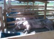 Empleado para campo (criadero de cerdos)