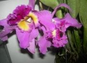 Orquidea Cattleya gigante en plena floracion