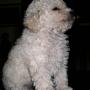Soñada cachorrita caniche mini toy