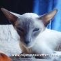 gatitos siameses con pedigrí - gatos siamés