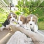 hermosos cachorritos de beagle
