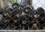 Dobermann_Doberman . Cachorros en Venta