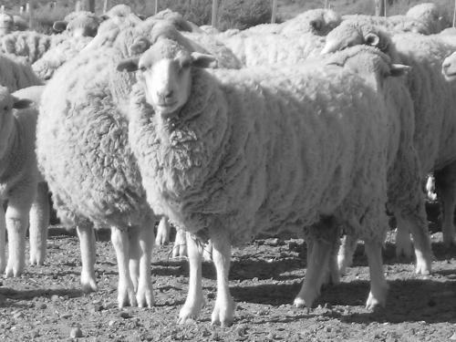 Vendo ovejas