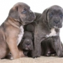 cachorros cane corso proxima camada el 17 de avril. recerve su cachorro!
