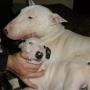bull terrier hembra y macho