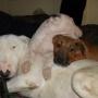 bull terrier hembra ultima cachorra