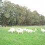Vendo tambo de cabras