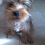Busco Novia Yorkshire Terrier