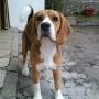 Servicio De Perro Beagle Macho
