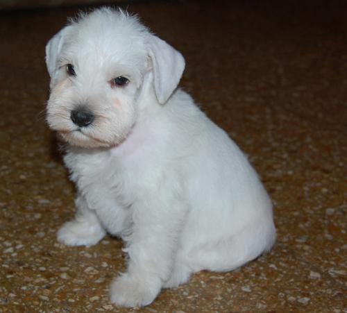 Cachorros de schnauzer miniatura blanco