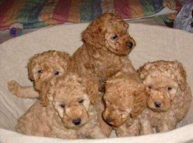 Fotos de Cachorros yorkshire y caniche toy 2