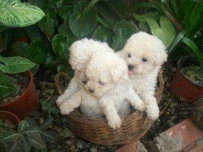 Fotos de Cachorros yorkshire y caniche toy 4