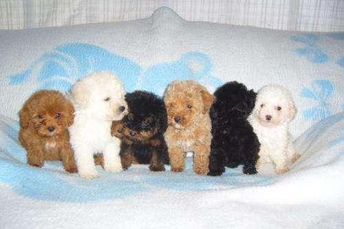 Cachorros yorkshire y caniche toy