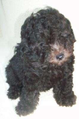 Fotos de Cachorros yorkshire y caniche toy 3