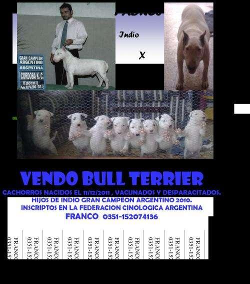 Vendo cachorros bull terrier