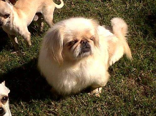 Criadero familiar ofrece cachorros raza mini unicos .exelente sanidad
