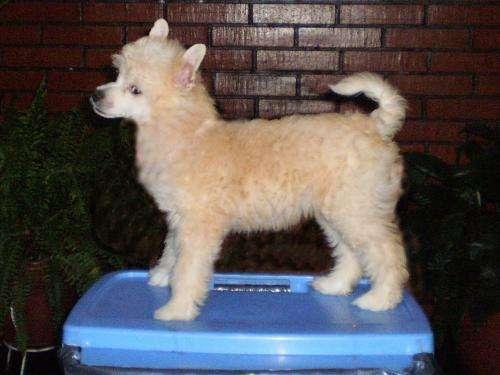 Crestado chino hermoso cachorro en venta