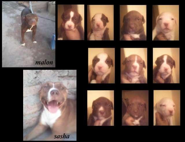 Venta de cachorros pitbull color chocolate