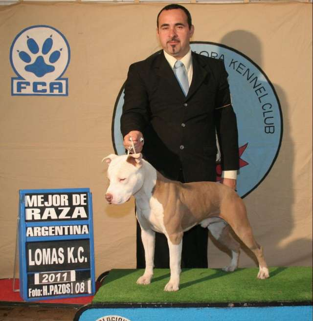 Fotos de Cachorros american pit bull terrier 3