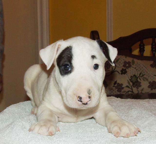 Maravilloso bull terrier cachorros nick y clara