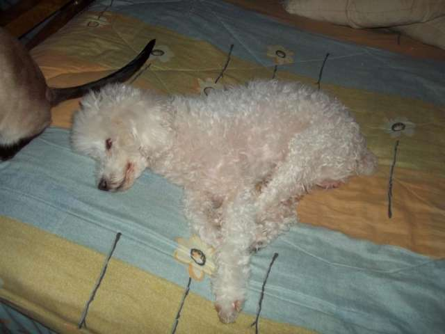 Busco perrita caniche toy blanca, para cruzar con perro can