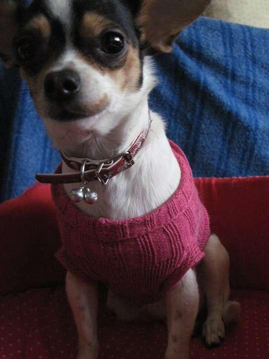 Busco Novio Para Mi Perra Chihuahua Layla En Capital Federal Varios 734204