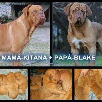 Cachorros de dogo de burdeos de excelente pedigree