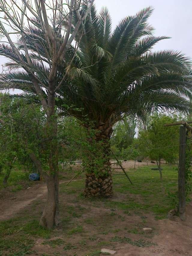 Vendo 2 palmeras washngtonias y 1 phoenix