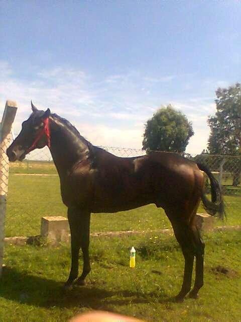Vendo caballo macho para reproductor o carreras