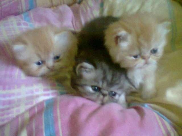 Vendo excelente gatito persa a $2400