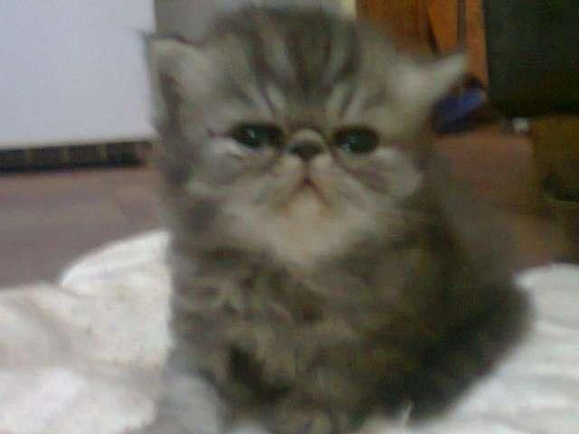 Vendo excelente gatito persa ideal para departamento a $2400