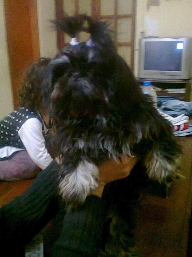 Vendo excelentes cachorros shih tzu a $1700 ideal para departamento o casa familiar.