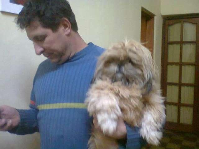 Vendo excelentes cachorros shih tzu a $1700