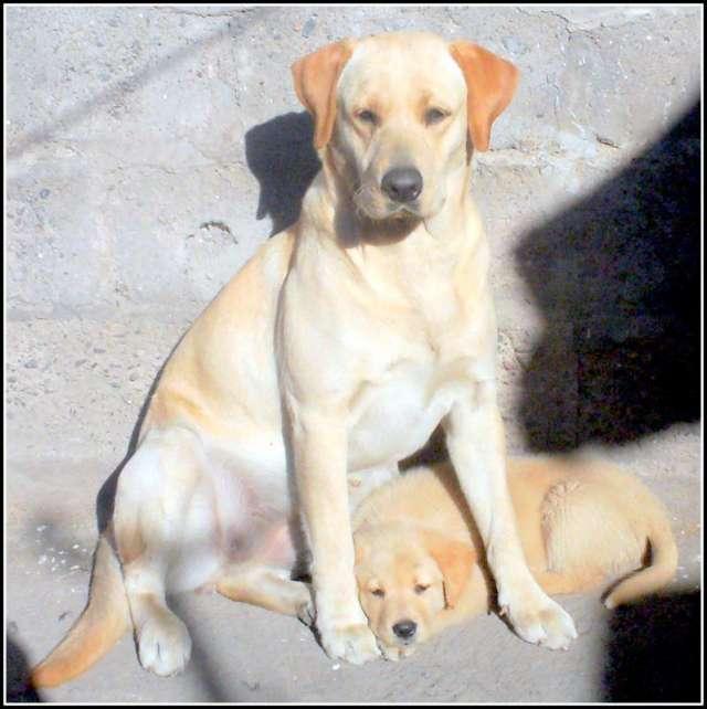 Vendo Cachorro Labrador Golden Retriever Macho En San Miguel De
