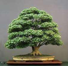 Consejos a tener en cuenta antes de comenzar a hacer bonsái