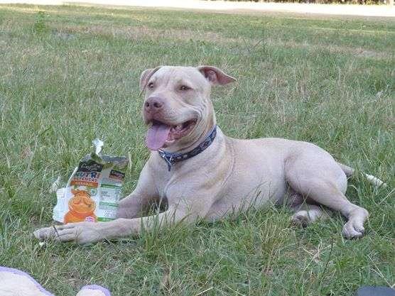 Se busca perro pit bull perdido en zona de plaza san jose gllen !!