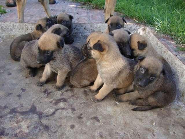 Fotos cachorro pastor belga malinois 54