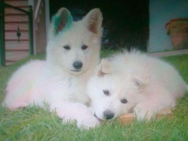 Cachorros de pastor blanco suizo
