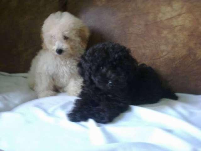 Caniches toy, hembras machos todo el año cachorros, blanco, gris, apricot, negros