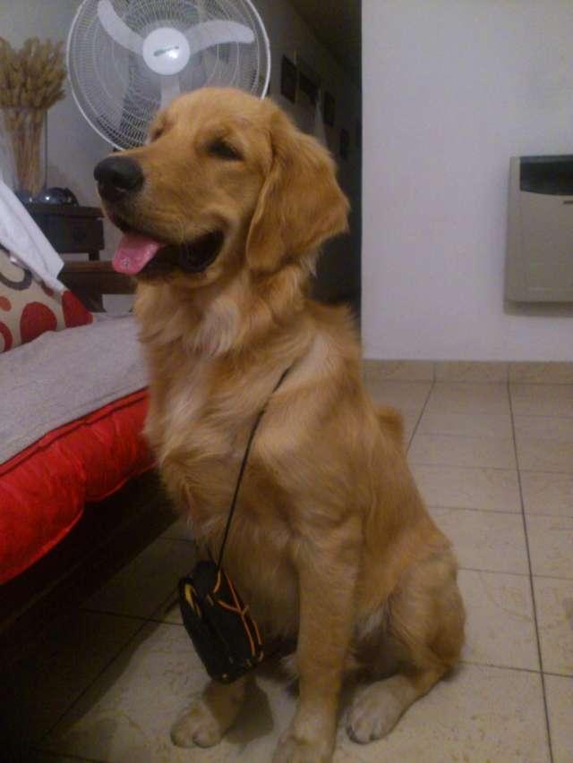 Hermosos cachorros de golden retriever disponibles