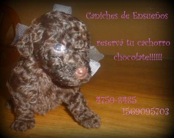 Caniches toy chocolates a la venta!!!