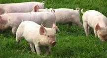 Vendo cerdos y padrillo