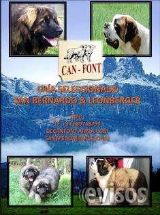 Excelentes cachorros de leonberger