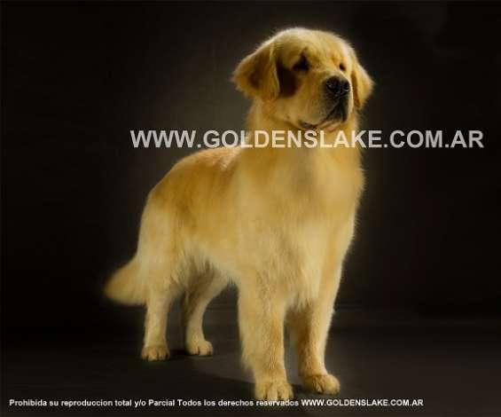 Goldens lake-golden retriever