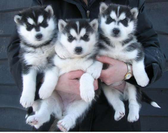 Cachorros de husky siberiano registrados para adopción