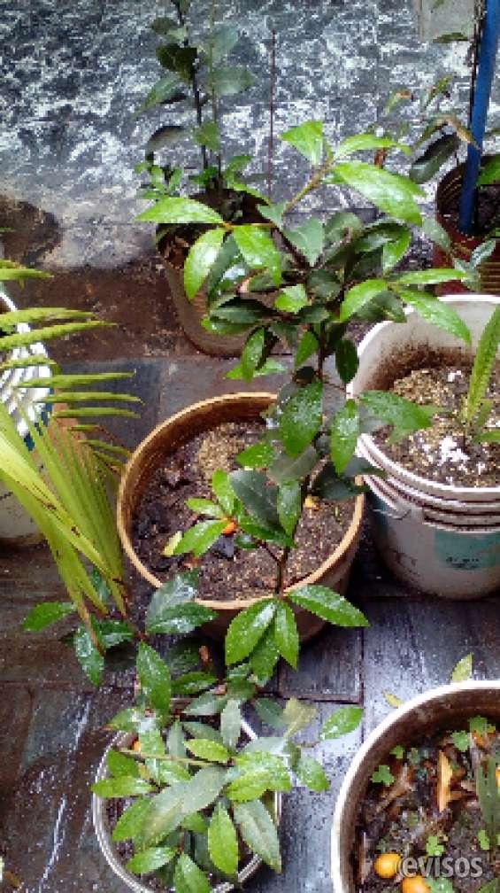 Plantas de laurel - uso culinario